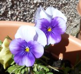Pansies in the sun