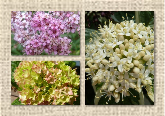 Spirea, Dogwood , Hydrangea