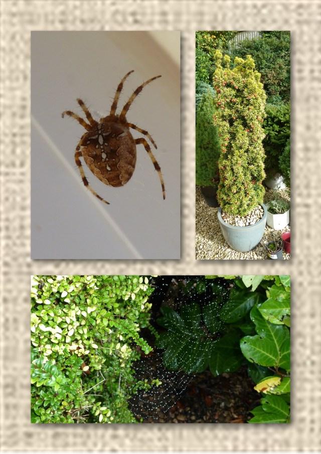 spider, conifer